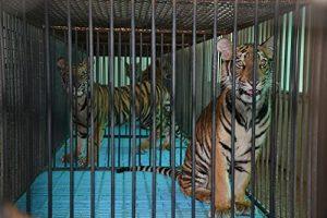 The.Tiger.Mafia.2016.1080p.WEB.h264-DOCiLE – 7.4 GB